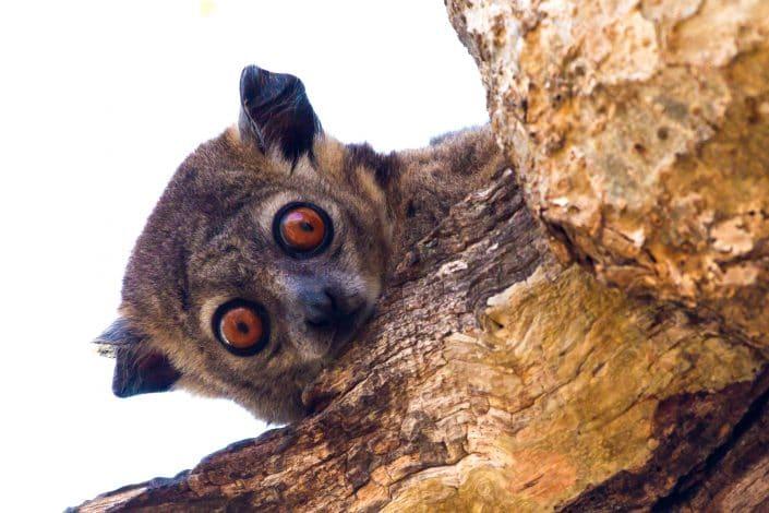 Lemurs Galore